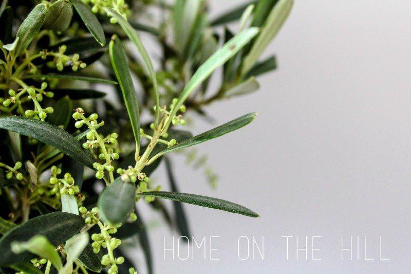 drzewko-oliwkowe-1