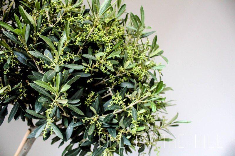 oliwkowe-drzewko-1
