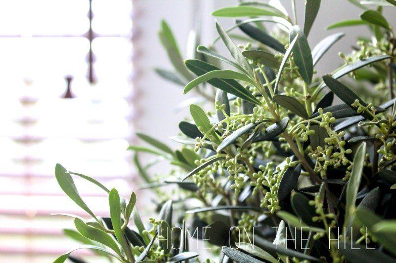 oliwkowe-drzewko-w-mieszkaniu-aranżacje-1