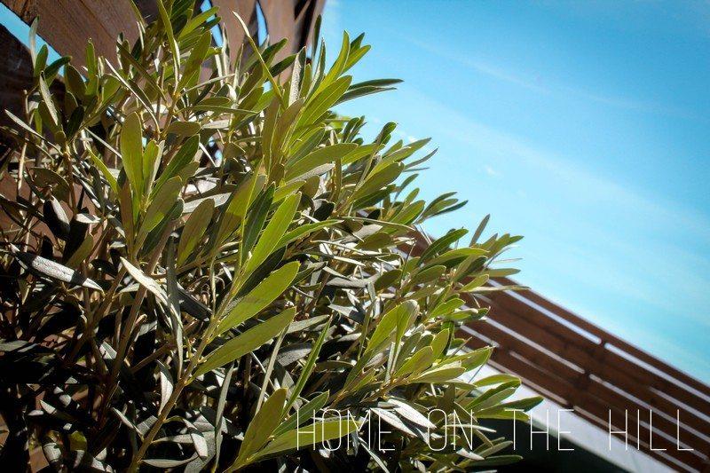 drzewko-oliwne-1