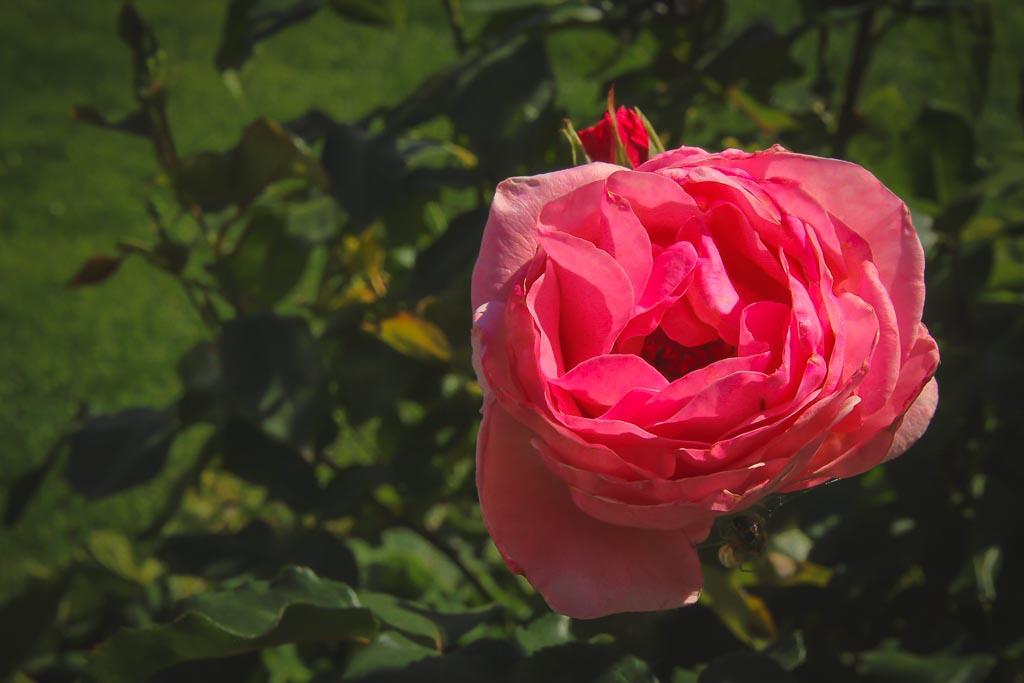 Róża McCartney wielkokwiatowa